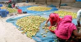 সুজানগরে টমেটো বিক্রি করে ২কোটি টাকা আয়