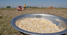 চাটমোহরে রসুনের বাম্পার ফলন, দাম কম
