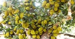 ভাঙ্গুড়ায় কাঁঠালের বাম্পার ফলন