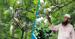 ঈশ্বরদীতে বাদশা মিয়ার আতা ফলের বাণিজ্যিক বাগান