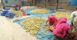 সুজানগরে টমেটো চাষে কৃষকের ভাগ্য বদল