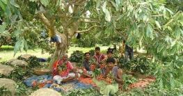 ঈশ্বরদীতে শত কোটি টাকার লিচু, হাজারো লোকের কর্মসংস্থান