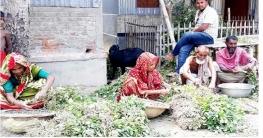 সুজানগরে বাদামের ফলন বিপর্যয়ে হতাশ কৃষক