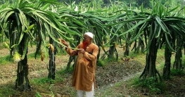 ড্রাগন ফল চাষে সফল কৃষক পাবনার বাহার